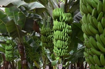Plantation sous bâches de bananes naines,  île de Tenerife, Canarias