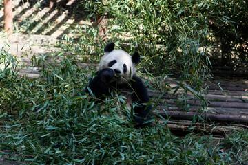 A ginat panda is eating bamboo