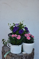 Geraniums and Picotee