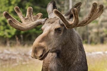 Closeup of a large male moose buck