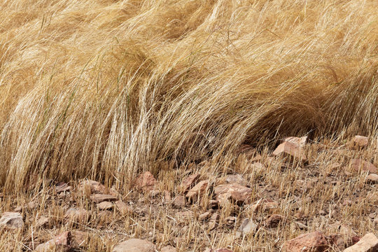 Detail of a teff field during harvest