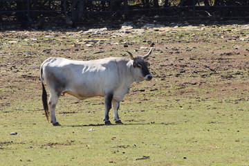 Bovine Standing on the Grazing in the Sunny Day.