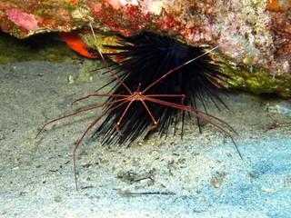Arrow Crab in the Atlantic Ocean
