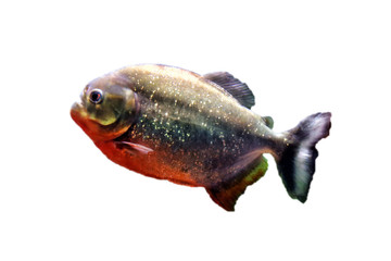 Predatory fish piranha