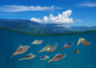 Split image with squids underwater and blue sky with cloud above water surface, Caribbean sea