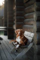 Dog Nova Scotia duck tolling Retriever is lying on the bench