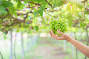 Asian woman use hand holding green grape in the farm,Thailand people,Harvest season.