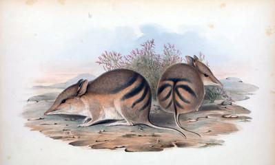 Illustration of a Bandicoot.