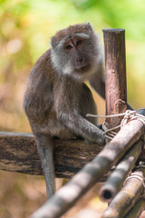 portrait of a monkey on a wooden fence in Asia