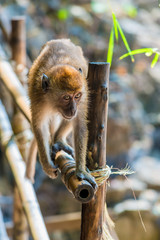 brown small monkey goes by fence in Asia