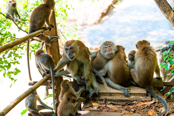 adult monkeys and young on the trail in Thayland, Krabi resort