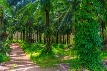 thickets of coconut trees on a farm in Thailand