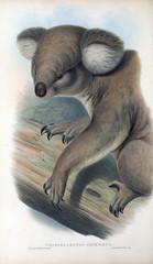 Illustration of Koala