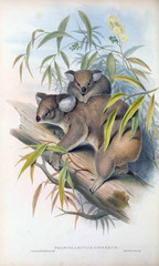 Illustration of Koala