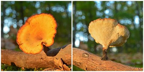 polyporus varius mushroom
