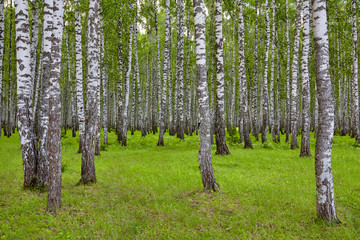 Beautiful scenery with white birches. Birches in bright sunlight. Birch grove in the summer. Birch trunks with white bark. Tops of birch against the sky. Sunny highlight.