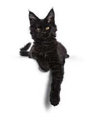 Black Maine Coon cat kitten laying isolated on white facing camera with paws hanging over edge