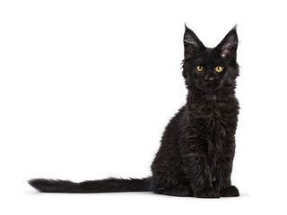 Black Maine Coon cat kitten sitting isolated on white facing camera