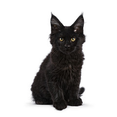 Black Maine Coon cat kitten sitting isolated on white facing camera looking straight in lens