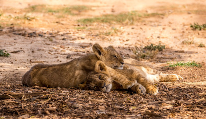 Two Lion Cubs Sleeping