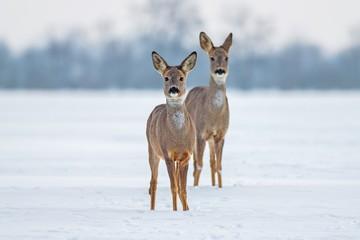 Foto auf Acrylglas Reh Roe deer Capreolus capreolus in winter. Doe and fawn deer on snow. Alert cute wild animals watching forward.