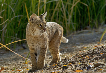 Alert bobcat pauses and turns