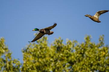 Pair of Mallard Ducks Flying Over the Autumn Trees