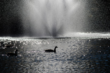 Canada Geese Silhouetted in the White Water Fountain Spray