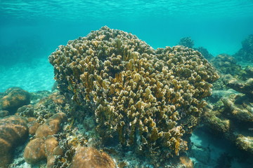 Reef with blade fire coral Millepora complanata underwater in the Caribbean sea