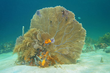 Soft coral venus fan, Gorgonia flabellum, underwater on a sandy seabed in the Caribbean sea, Cuba