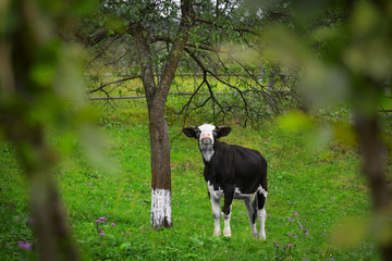 Cute heifer near tree on green grass