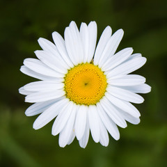 Daisy from above