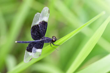 Image of Pied Paddy Skimmer Dragonfly (Neurothemis Tullia) on green leaves. Insect Animal