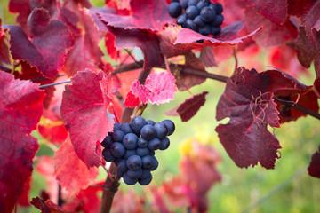 Papiers peints Vignoble Grapes leaves in a sunny vineyard