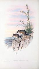 Marsupial mice.