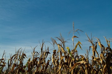 Dried corn stalks with copy space