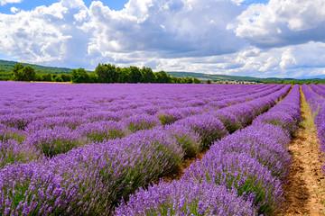 Garden Poster Lavender Champ de lavande en Provence, France. Ciel bleu avec des nuages.