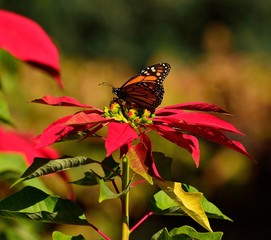 Colorful christmas flowers with beautiful monarch butterfly