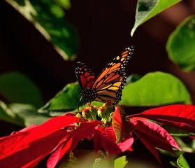 Colorful monarch butterfly on splendid poinsettia, christmas flower