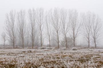 Pradera con escarcha, chopos y niebla en invierno.