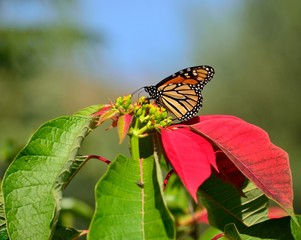 Poinsettia with large monarch butterfly, Danaus plexippus