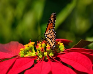 Great monarch butterfly on poinsettia of vivid colors, christmas flowers