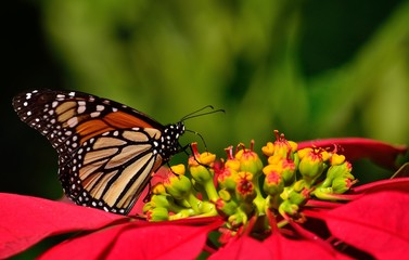 Poinsettia in full splendor and wonderful monarch butterfly, Danaus plexippus