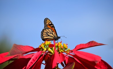 Monarch butterfly on colorful poinsettia with blue sky background
