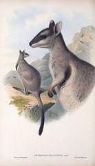 Illustration of a kangaroo.
