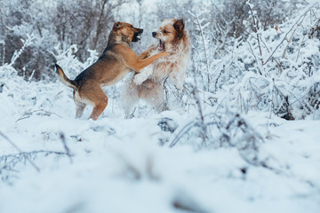 Dogs play in winter