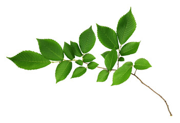 Branch of fresh green elm-tree leaves