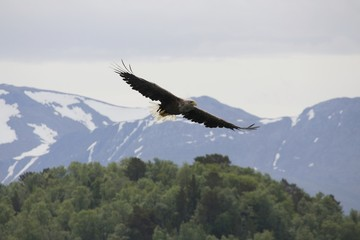 Norwegen, Norway, Seeadler, Sea Eagle, Lofoten