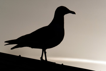 Herring gull in silhouette on building roof.