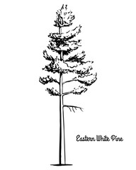 Vector sketch illustration. Black silhouette of Eastern northern white pine isolated on white background. Drawing of evergreen coniferous Weymouth or soft pine, Maine and Michigan state tree.